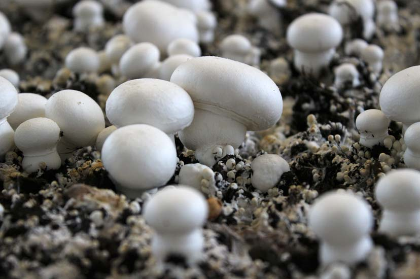 lentins des chênes en auvergne ou les trouver